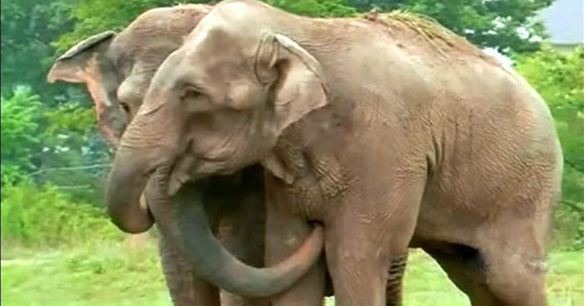 Rescued Circus Elephants Get Back Together After 22 Years And The Touching Moment Is Caught On Video