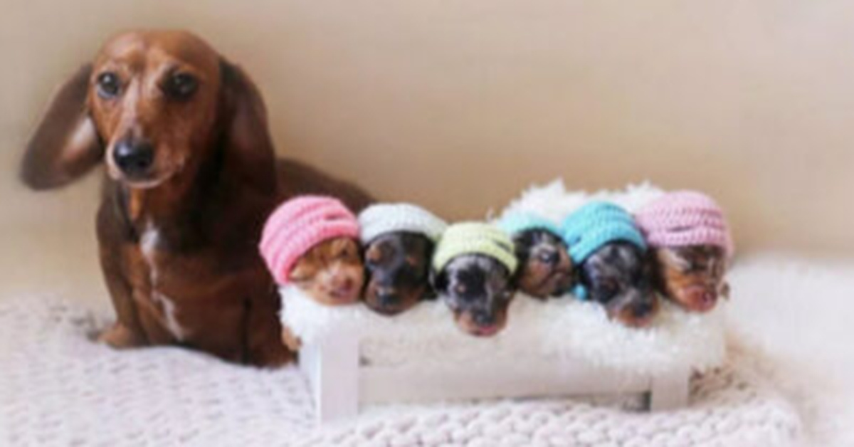 Dachshund And Her 6 New Pups Have An Adorable Photoshoot Together