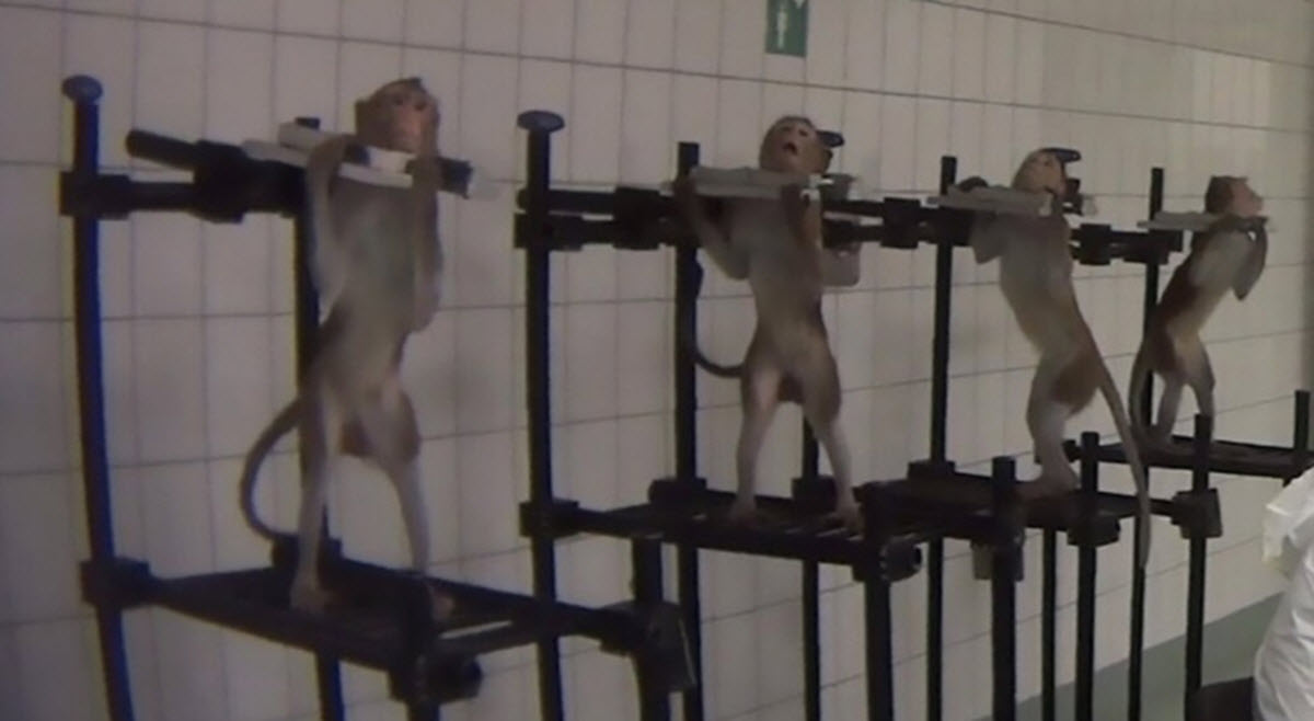 Leaked Hidden Camera Footage Shows Dogs, Cats, and Monkeys Being Tortured To Death By Pharma Company